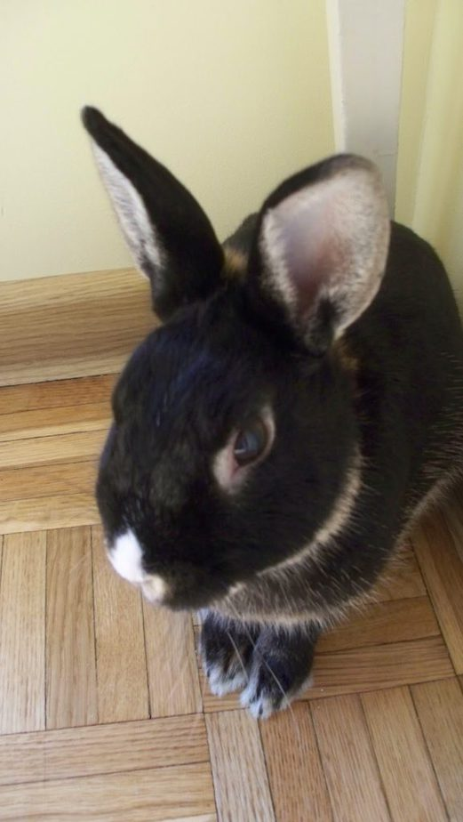 królik Semir